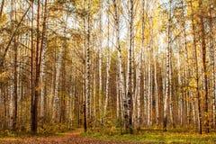 用秋叶盖的秋天草甸的风景在杉木森林里 免版税库存照片
