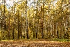 用秋叶盖的秋天草甸的风景在杉木森林里 库存图片