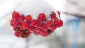用第一个雪冬天报道的花揪红色束分支 库存图片