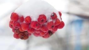 用第一个雪冬天报道的花揪红色束分支 图库摄影