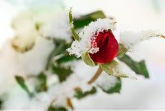 用第一雪盖的红色玫瑰 库存照片