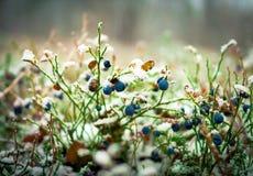 用第一雪盖的越桔灌木 免版税库存图片