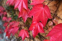 用红色常春藤叶子盖的墙壁 库存照片
