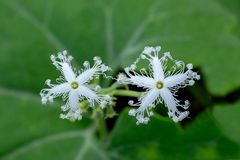 用绿色叶子背景盖的美丽的白色双花 免版税库存图片