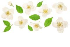 用绿色叶子装饰的茉莉花花隔绝在与拷贝空间的白色背景特写镜头您的文本的 免版税库存照片