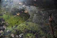 用绿色和叶子盖的肮脏的沼泽 库存图片