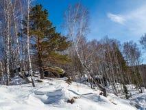 用绿色青苔和白雪和杉木和桦树盖的石头在森林里在阿尔泰,俄罗斯 免版税图库摄影