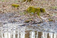 用绿色青苔盖的一个老森林树桩在4月pu旁边 免版税库存图片