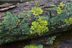 用绿色青苔盖的树 纹理 自然 一棵异常的树 青苔损坏树的吠声 n 免版税库存照片