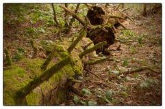用绿色青苔盖的老树词根在森林里在早期的春天 图库摄影