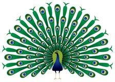 用羽毛装饰他的孔雀培养 免版税图库摄影
