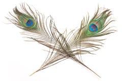 用羽毛装饰孔雀二 免版税图库摄影