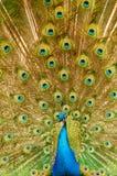 用羽毛装饰孔雀陈列 免版税图库摄影