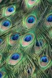 用羽毛装饰孔雀 库存图片