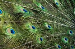 用羽毛装饰孔雀 免版税图库摄影