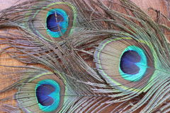 用羽毛装饰孔雀 免版税库存照片