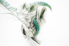 用羽毛装饰孔雀 免版税库存图片