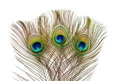 用羽毛装饰孔雀 图库摄影