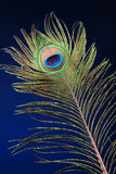 用羽毛装饰孔雀 库存照片