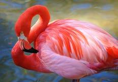 用羽毛装饰火鸟粉红色 免版税库存照片