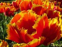 用羽毛装饰的红色和黄色郁金香 免版税库存图片