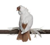 用羽毛装饰的英尺德国盔甲鸽子 库存图片
