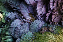 用羽毛装饰野鸡 免版税库存图片