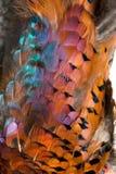 用羽毛装饰野鸡 库存图片