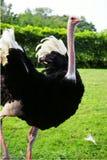 用羽毛装饰驼鸟 免版税库存图片