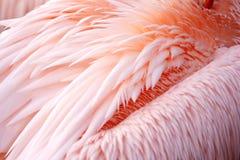 用羽毛装饰鹈鹕 图库摄影