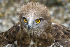 用脚尖踢的老鹰。Circaetus gallicus 库存图片