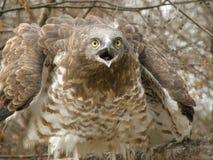 用脚尖踢的老鹰短小 图库摄影