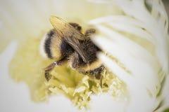 用花粉盖的土蜂 免版税库存图片