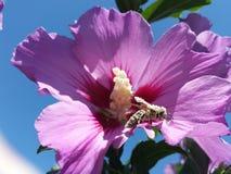 用花粉盖的蜂 免版税图库摄影