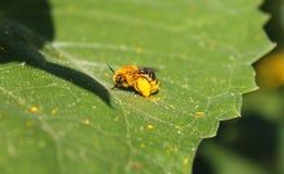 用花粉装载的蜂蜜蜂在叶子 免版税库存图片