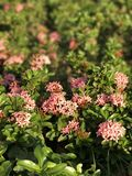 用花装饰的桃红色 免版税库存图片