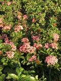 用花装饰的桃红色 库存照片