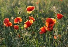 用花装饰的草甸-鸦片 库存照片