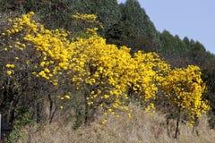 用花装饰的黄色ipe树在森林 免版税库存图片