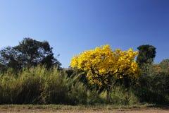 用花装饰的黄色ipe树在森林 库存图片