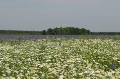 用蓝色响铃报道的领域和春黄菊关闭  免版税库存图片