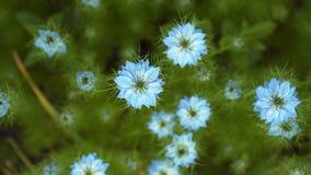 用蓝色花不同的树荫的奈洁拉damascena初夏开花植物在小绿色灌木的