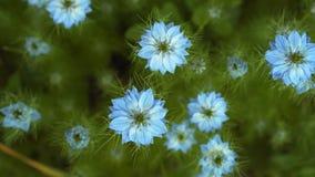 用蓝色花不同的树荫的奈洁拉damascena初夏开花植物在小绿色灌木的 股票视频