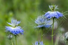 用蓝色花不同的树荫的Nigella damascena初夏开花植物在小绿色灌木,装饰庭院的 图库摄影