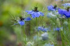 用蓝色花不同的树荫的Nigella damascena初夏开花植物在小绿色灌木,装饰庭院的 免版税库存照片