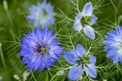 用蓝色花不同的树荫的Nigella damascena初夏开花植物在小绿色灌木,装饰庭院的 库存照片