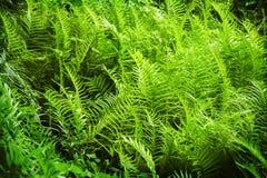 用蕨叶子盖的叶茂盛森林地板 库存图片