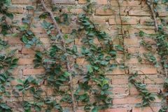 用藤盖的墙壁 库存照片