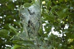 用蜘蛛网、飞蛾和毛虫蜘蛛网盖的树的分支,昆虫攻击 图库摄影