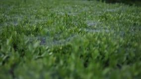 用蜘蛛网盖的草坪 影视素材